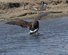 Canada Goose 8490 (frank.kocsis1) Tags: canadagoose utahparkaurora colorado coloradowildlife frankkocsis seealbumformorephotos