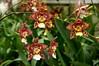 Wilsonara Susi (rolf_leon) Tags: orchideen orchids orchidées odontoglossum oncidium wilsonara