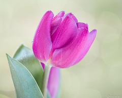 Tulip (Ken Mickel) Tags: dewdrop dewdrops floral flower flowers plants texture textured textures tulip waterdrop waterdrops closeup flora garden gardens nature photography upclose