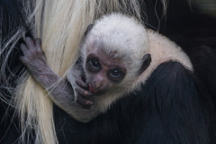 Angolan Colobus Monkey (San Diego Zoo Global) Tags: monkey babyanimals sandiego sandiegozoo colobus primates primate cute adorable baby infant angolancolobusmonkey animals nature wildlife babyanimal