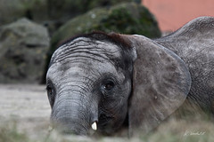 Madiba, 6 months old (K.Verhulst) Tags: madiba africanelephant afrikaanseolifant olifanten elephant beeksebergen safaripark safariparkbeeksebergen hilvarenbeek tilburg