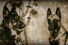 Ikho & Leny (Nyvek67) Tags: portrait dog chien samsung retro r malinois allemand berger