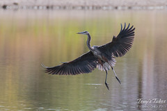 Great Blue Heron landing sequence - 2 of 7