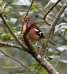 Chaffinch (wok smuggler) Tags: tree bird animal outdoor fringillacoelebs chaffinch sigma150500 nikond7100