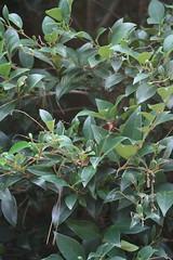 Ligustrum japonicum - Green meatball - Japenese Privet (Christopher Alberti) Tags: green master shrub meatball gardener privet japenese japonicum ligustrum