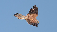 Kestrel (markkilner) Tags: england bird nature canon eos coast flying kent wildlife flight apo telescope 7d dslr manualfocus kestrel clifftop broadstairs falcotinnunculus northforeland primefocus televue kilner tv60 autumnwatch televue60