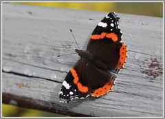 Red Admiral (jenny*jones) Tags: autumn macro canon butterfly redadmiral lepidoptera naturalworld westyorkshire naturephotography nymphalidae vanessaatalanta brushfootedbutterfly 0382 gtbritain oct2015