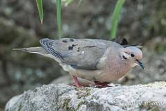 Eared Dove (Jim Scarff) Tags: quito ecuador eareddove southamericanbirds dovesandpigeons ecuadorianbirds zenaidaauiculata