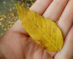 IMG_20151018_104802 (Nicolaspeakssometimes) Tags: autumn nature leaf foundthings