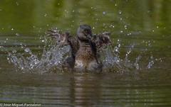 6-La alegría de la laguna( TIGUA SPA)!!Centro de spa o centro de hidroterapia corporal a precio especial.Favor hacer cita con doña Tigua Estevez!!Dedicada a LA LEYENDA DE FANTINO TIMOTEO ESTEVEZ!!! (Cimarrón Mayor 16,000.000. VISITAS GRACIAS) Tags: naturaleza bird fauna libertad dominicanrepublic pássaro ave oiseau libre vogel montañas caribe uccello panta ptak fågel lintu repúblicadominicana repdom птица dominicano ptica πουλί quisqueya птах tigua ptáček zambullidormenor libertee cimarrónmayor canoneos7dmarkii 7dmarkii josémiguelpantaleón canon7dmarkii telefoto700mm zampullínmacacito ordenpodicipediformes familiapodicipedidae zambullidorchico macágris génerotachybaptus zampullínenano nombrecientificotachybaptusdominicus nombreinglesleastgrebe lugardecapturacotuí isladelahispaniola