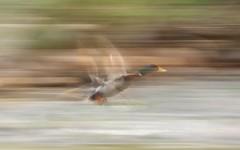 oak creek motion & flight 1b _ (crop) (meg99az) Tags: arizona duck flight sedona motionblur oakcreek
