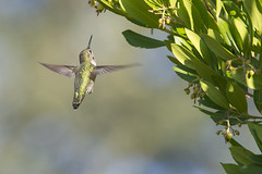 Hummingbird Approaching Strawberry Tree (uncle.dee9600) Tags: nikon telephoto strawberrytree annashummingbird calypteanna nikond7200
