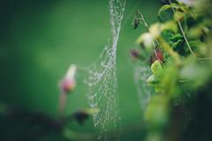 Cobweb (Matthew-King) Tags: macro wet water droplets spiders web cobweb dew