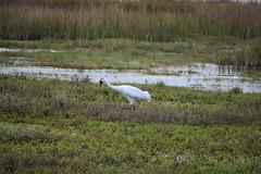 Whooping Crane (limedestruction) Tags: bird nature texas crane wildlife birding whoopingcrane aransasnwr