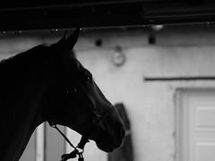 25/11 Jour de pluie (Nemossos) Tags: shadow bw horse monochrome rain cheval pluie ombre shelter profil abri phovember