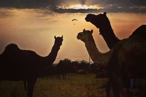 The joys in the small things #sunset #camel #camel_fair #pushkar #pushkarfair