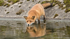 thirsty ... (Alex Verweij) Tags: reflection water canon fox 5d drinken thirsty vos dorst redfox reflectie reinier 200mm alexverweij