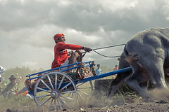 (brampaulussen) Tags: bali west race indonesia buffalo traditional culture bull racing jembrana makepung