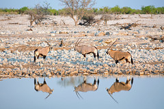 Gemsbok Oryx & Reflection (paulafrenchp) Tags: