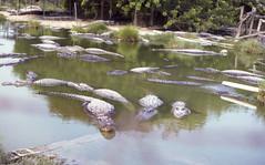 B053 1983-07-13 Alligator Ranch Wooten's Air Boat Tour Everglades Florida (crobart) Tags: ranch park boat tour florida air alligator slide national everglades 1983 kodachrome slides wootens
