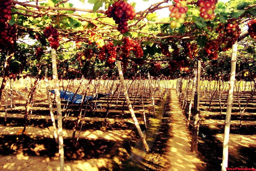Vườn nho trĩu quả ở Ninh Thuận