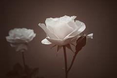 monochrome (krøllx) Tags: roses plant flower nature monochrome rose petals flora 1505241156