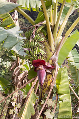 Régime de bananes et fleur de bananier
