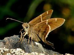 Teleus Longtail (d_taron) Tags: mexico butterflies michoacn hesperiidae urbanus urbanusteleus eudaminae
