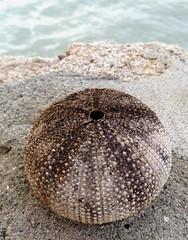 Sea-Urchin (plismo) Tags: sea macro outdoor cuba minimalism urchin minimalist seaurchin guardalavaca holguin seahedgehog echinoidea plismo