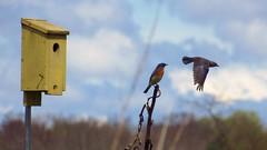 bluebirdcheckingoutmate (fungandus) Tags: bird birds birdseed flickr wildlife birding birdfeeder maryland bluebird birdwatching bluebirds easternbluebird harfordcounty marylandwildlife
