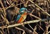 Eisvogel (Hugo von Schreck) Tags: hugovonschreck bird vogel eisvogel outdoor canoneos5dsr yourbestoftoday tamronsp150600mmf563divcusda011 givemefive