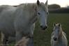 _DSC5581_v1 (Pascal Rey Photographies) Tags: digikam digikamusers linux ubuntu opensource freesoftware chevaux horses caballos pferden chevauxcamarguais camarguais arles camargue bouchesdurhône sud delta