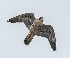 Peregrine (Falco peregrinus) (fugle) Tags: inflight peregrine peregrinefalcon virginialake nevada reno washoeco