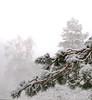 DSC02241-2 (aleksey1971) Tags: siberia altai belokurikha winter nature forest landscape tree snow сибирь алтай белокуриха зима природа пейзаж лес снег