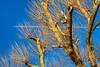 Winter Getaway (paulinuk99999 - tripods are for wimps :)) Tags: paulinuk99999 blue sky winter january 2017 tree jet contrails contrast sal70400g london