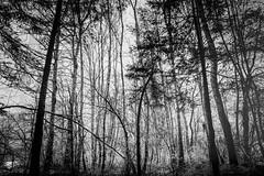 ...s.tree.t... (*ines_maria) Tags: panasonicdmcgx8 winter forest trees nature landscape cold woods monochrome bw landschaft outdoor wald kärnten austria österreich