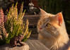 The mesmerizing effect of heather (FocusPocus Photography) Tags: linus katze kater cat chat gato tier animal haustier pet heide erika heather pflanze plant