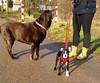 Kim - Julie 2 (Josef17) Tags: bostonterrier hund labrador feldweg ausflug