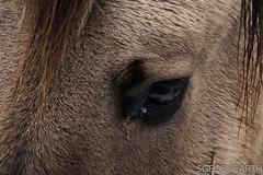20170211-IMG_2642 (SGEOS@EARTH) Tags: schotse hooglander highland cattle scottish oerossen wildlife nature outdoor observer canon konikpaarden wilde paarden konik polish