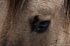 20170211-IMG_2642 (SGEOS AT EARTH) Tags: schotse hooglander highland cattle scottish oerossen wildlife nature outdoor observer canon konikpaarden wilde paarden konik polish