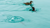 Quack... dive dive dive (webeagle12) Tags: nikon d7200 europe landscape vatnajokull national park iceberg ice glacier lake southeast iceland lagoon breiðamerkurjökull jökulsárlón birds