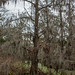 Cypress Tree With Spanish Moss