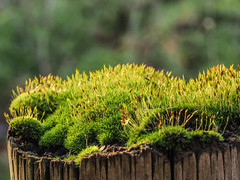 Moss alive and well on fence post (dave p brecks) Tags: moss nature olympus60mmmacro olympusem10markii