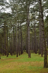 Organised Chaos (Jason Shorten) Tags: spruce pine larch trees evergreen woodland seaside wellsnextthesea d5300 nikon nikkor norfolk uk