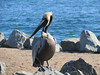 Shelter Island 1-14-2017 10-23-59 AM (walkingsandiego) Tags: sandiego shelterisland pelican