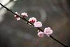 紅梅 (Hamster620) Tags: 台灣 taiwan 武陵農場 wulingfarm 植物 plant 花 flower