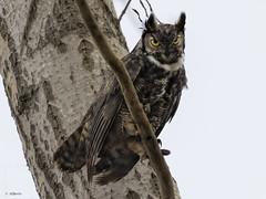 Great Horned Owl (shimmer5641) Tags: bubovirginianus greathornedowl hornedowl tigerowl hootowl raptor birdofprey birdsofbritishcolumbia birdsofnorthamerica