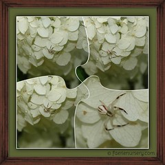 The hidden talents of a garden spider. (Faerie Nursery) Tags: spiders spider bug arachnophobia arachnid nature outdoors summer summertime flower flowers ivory cream white green colour hydrangea camouflage hide hideinplainsight talent macro gross ewwwww