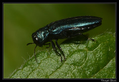 Agrilus cyanescens (cquintin) Tags: arthropoda coleoptera buprestidae agrilus cyanescens