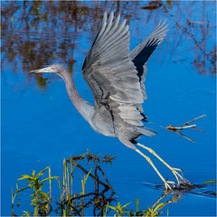 Little Blue Heron ( Leaving ) (billkominsky ) Tags: naturethroughthelens